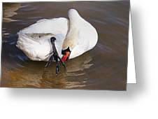 Mute Swan Grooming In Shallow Water 2 Greeting Card