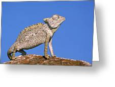 Namaqua Chameleon Chamaeleo Namaquensis Greeting Card