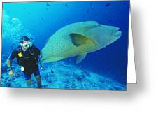 Napoleon Wrasse And Diver Greeting Card by Matthew Oldfield