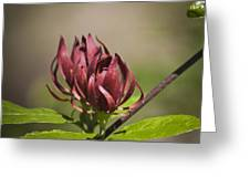 Native Sweetshrub Greeting Card