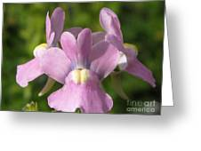 Nemesia Named Compact Pink Innocence Greeting Card