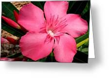 Nerium Oleander Pink Greeting Card
