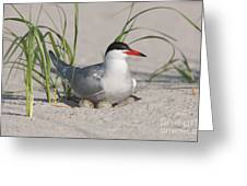 Nesting Common Tern Greeting Card