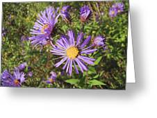 New England Aster Wildflower - Purple Greeting Card