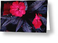 New Guinea Impatiens Greeting Card