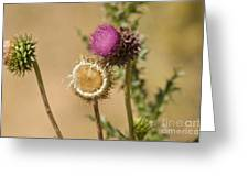 New Mexico Thistle II Greeting Card