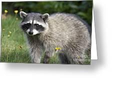 North American Raccoon Greeting Card