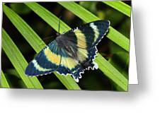 North Queensland Day Moth Alcides Greeting Card