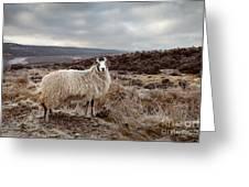 North York Moors Sheep Greeting Card