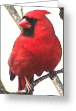 Northern Cardinal Closeup Greeting Card