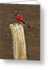 Northern Carmine Bee-eater Greeting Card by Tony Beck