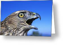 Northern Goshawk With Open Beak Greeting Card