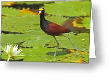 Northern Jacana Greeting Card