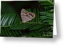 Northern Pearly Eye Greeting Card