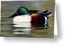 Northern Shoveler Anas Clypeata Male Greeting Card