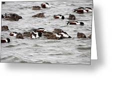Northern Shoveler Duck - 0004 Greeting Card