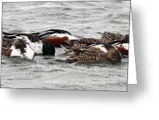 Northern Shoveler Duck - 0005 Greeting Card