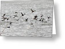 Northern Shoveler Duck - 0006 Greeting Card