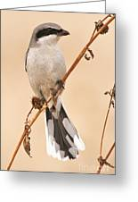 Northern Shrike Greeting Card