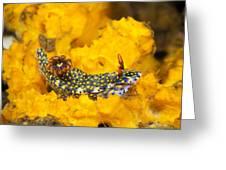 Nudibranch On Sponge Greeting Card