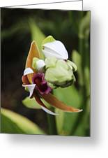 Nun's Cap Orchid - 4 Greeting Card