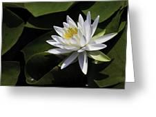 Nymphaea Marliacea 'albida' Greeting Card