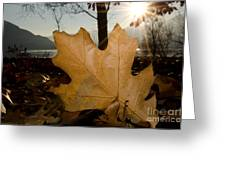Oak Leaf In Backlight Greeting Card