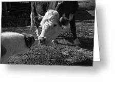 Old Fashioned Cow Dog Doing Its Job Greeting Card