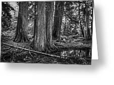 Old Growth Cedar Trees - Montana Greeting Card