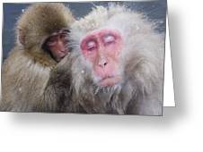 Older Snow Monkey Being Groomed By A Greeting Card