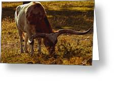 Older Texas Long Horn  Greeting Card