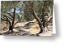 Olive Trees At Sebastia Greeting Card