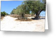 Olive Trees In Samaria Greeting Card