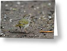 Olivesided Sparrow Greeting Card