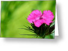 One Of The Phlox Greeting Card