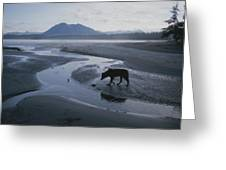 One Of Vargas Islands Habituated Wolves Greeting Card