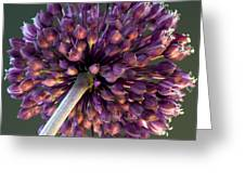 Onion Flower Greeting Card
