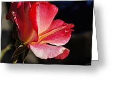 Open Rose After The Rain Greeting Card
