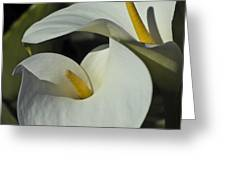 Open White Calla Lily Greeting Card