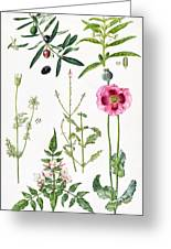 Opium Poppy And Other Plants  Greeting Card by  Elizabeth Rice