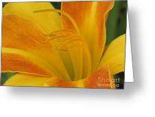 Orange And Gold Day Lillies. Greeting Card