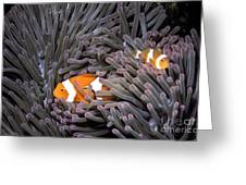 Orange Clownfish In An Anemone Greeting Card