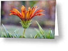 Orange Gerber 3 Greeting Card