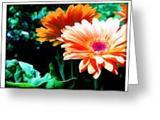 Orange Gerber Daisies Greeting Card