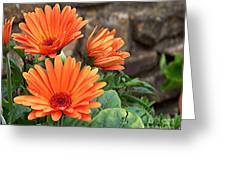 Orange Gerber Daisy Greeting Card