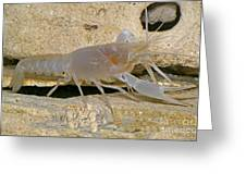 Orange Lake Cave Crayfish Greeting Card