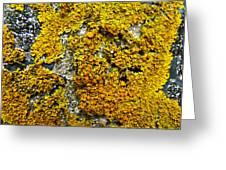 Orange Lichen - Xanthoria Parietina Greeting Card
