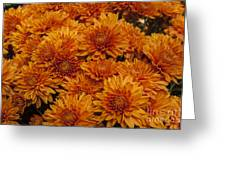 Orange Mums Greeting Card