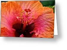 Orange Sherbert Hibiscus Greeting Card