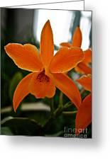 Orange Sherbert  Orchid Greeting Card